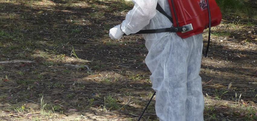 Tratamiento químico en ambiente dunar (Arctotheca calendula)