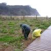 Escarda manual en ambiente dunar (Arctotheca calendula)