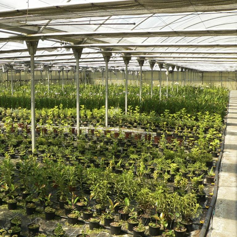 Produción de planta en invernadero